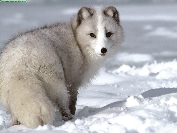 Guarda le foto degli animali artici più belli, bianchi come la neve!