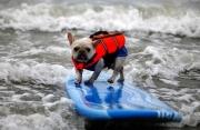 Cani che fanno Surf
