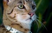 Gatto di Lusso
