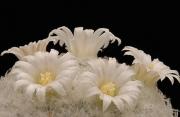 Mammillarie con fiori
