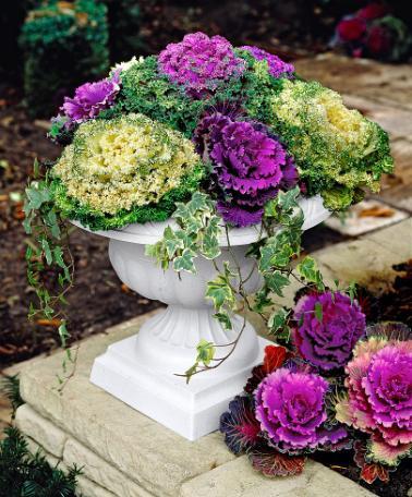 Cavoli ornamentali