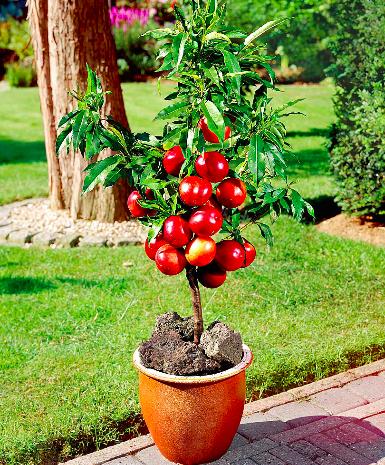 Prunus persica var. nucipersica.