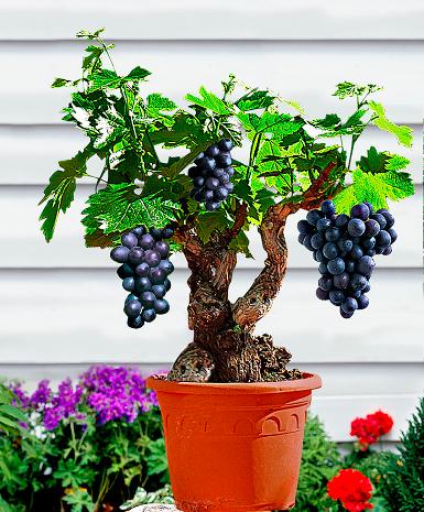 Piante da frutto nane idee green for Piante da frutto nane