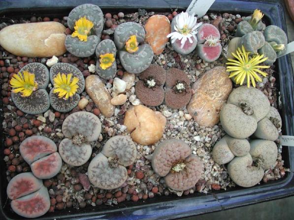 Lithops, fioritura