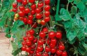 Varietà di pomodorini