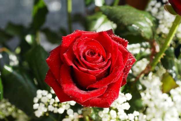 Come coltivare rose idee green - Rose coltivazione in giardino ...