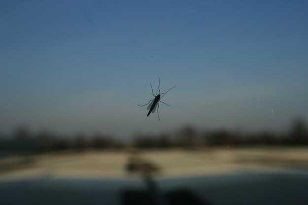 zanzara1.jpeg