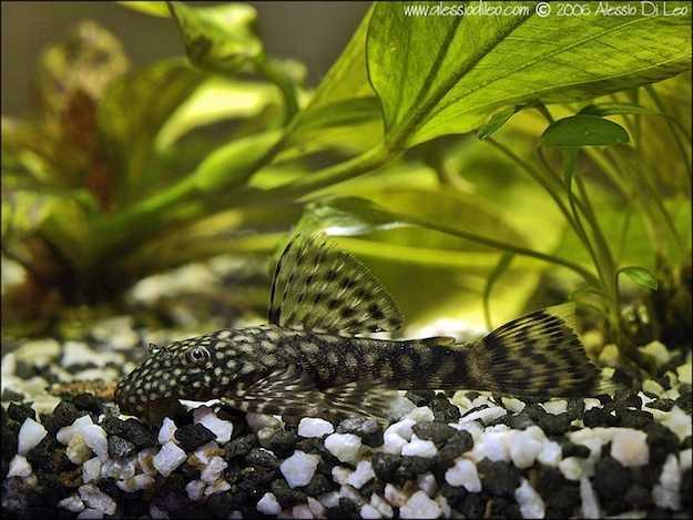 Come pulire l acquario idee green for Pesce pulitore acqua dolce
