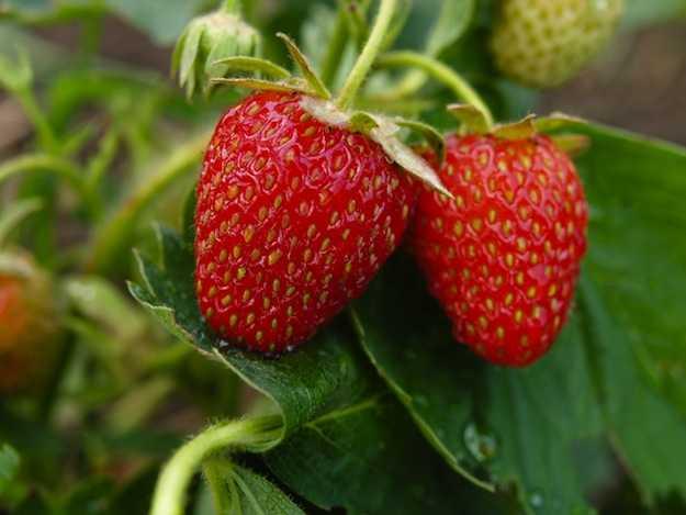 Come coltivare fragole sul balcone idee green for Fragole piante in vaso