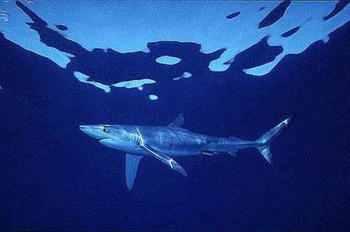Uno squalo nell'acqua blu