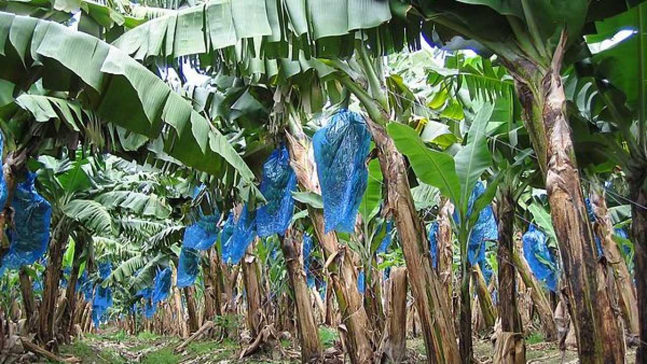 Come Coltivare Un Banano dal banano, il legno a basso impatto - idee green