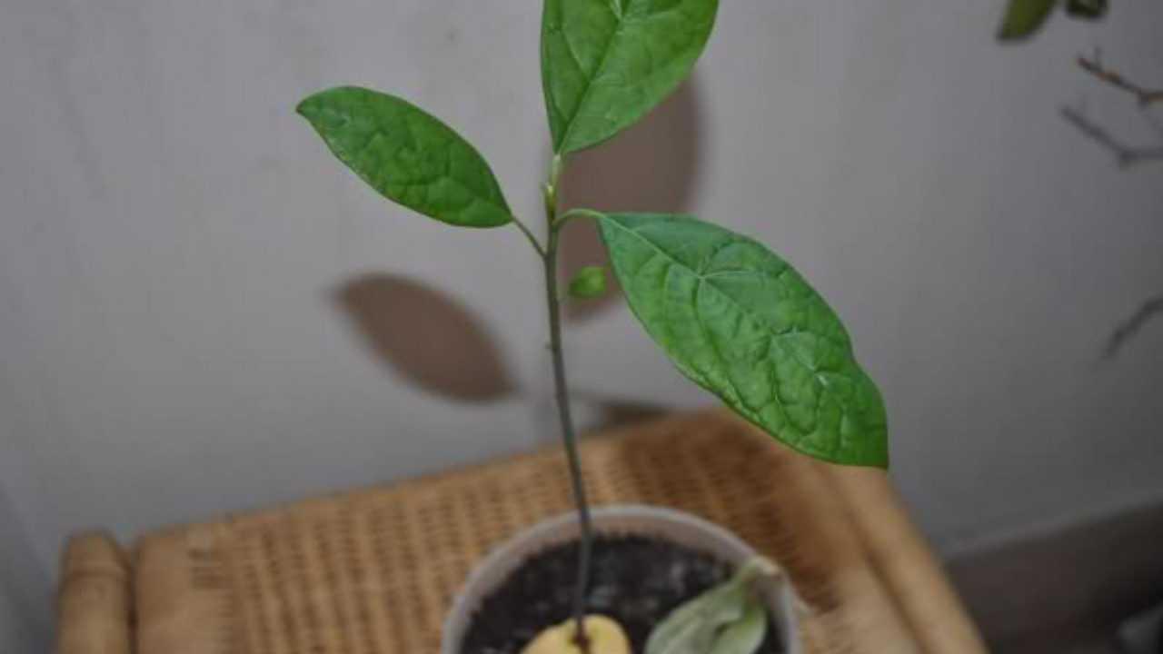 Nocciolo Di Avocado In Acqua come creare una pianta di avocado in casa - idee green