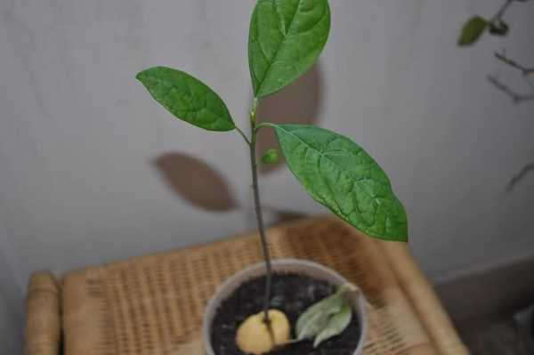 Come creare una pianta di avocado in casa idee green - Creare piantina casa ...