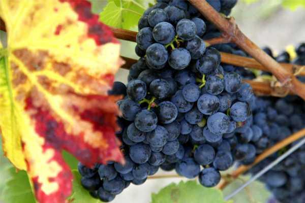 Energia dalle vigne