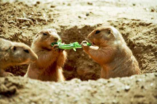 Due scoiattoli condividono cibo