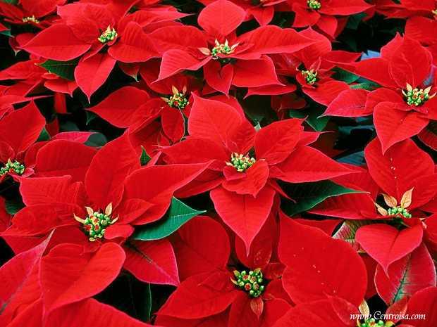 Stella Di Natale Luce.Un Trucco Per La Stella Di Natale Idee Green