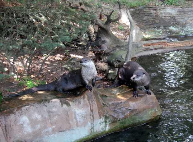 Coppia di lontre canadensis