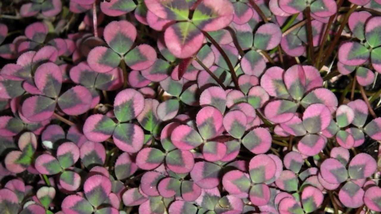 Fiori Da Vaso Perenni piante da giardino facili da coltivare - idee green