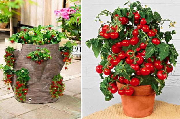 Orto sul balcone idee green for Fragole piante in vaso