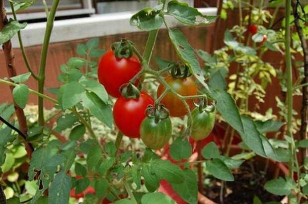 Coltivare pomodori in vaso la guida idee green - Come coltivare il basilico in casa ...