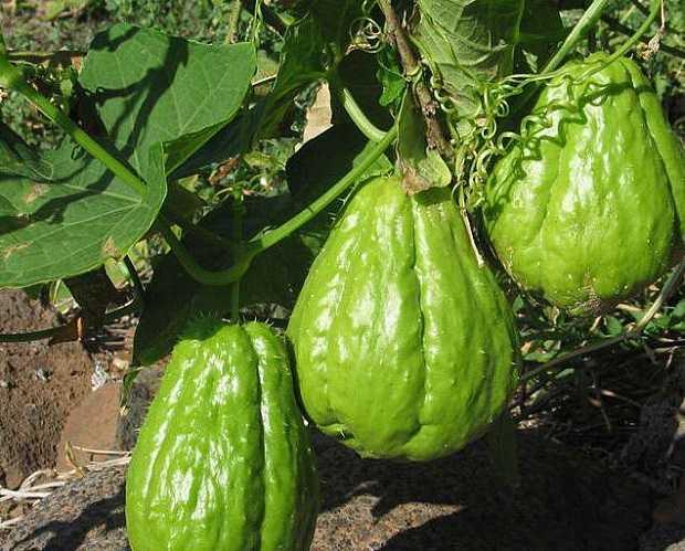 Great Coltivare La Zucca Spinosa