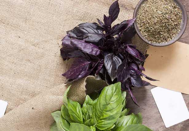 Basilico coltivazione in vaso idee green for Coltivare il basilico