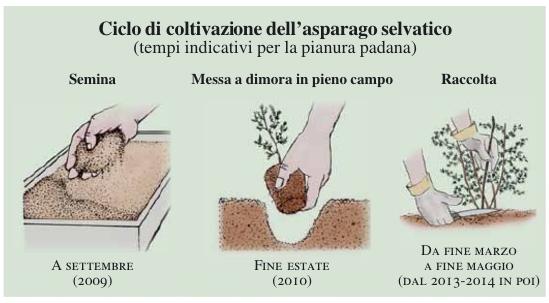 coltivazione asparagi selvatici