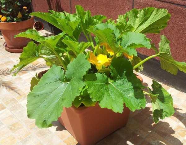 Coltivare la zucchina in vaso