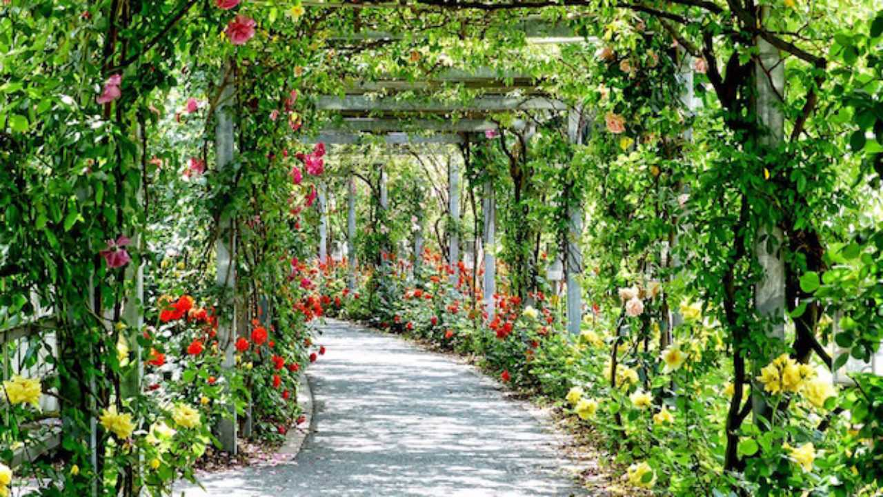 Rose Da Taglio Rifiorenti come curare le rose - idee green