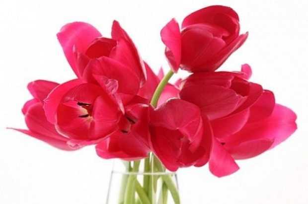 fiori recisi duraturi - tulipani