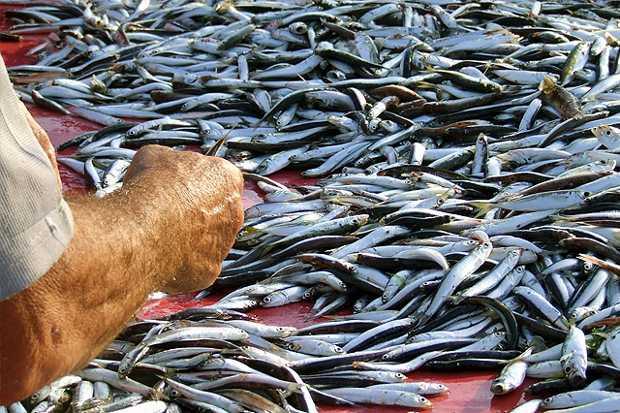 Selezione del pesce