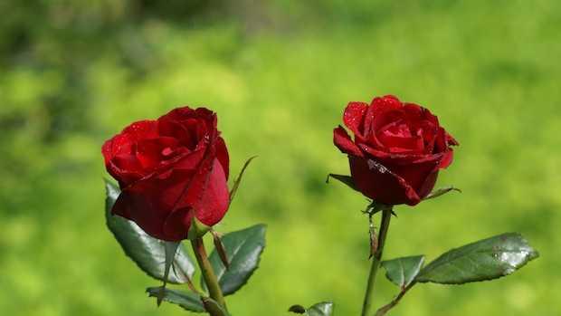 come curare i roseti