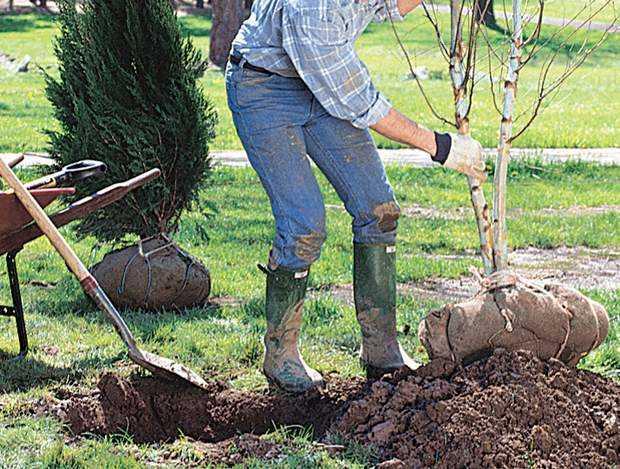 Come si pianta un albero?