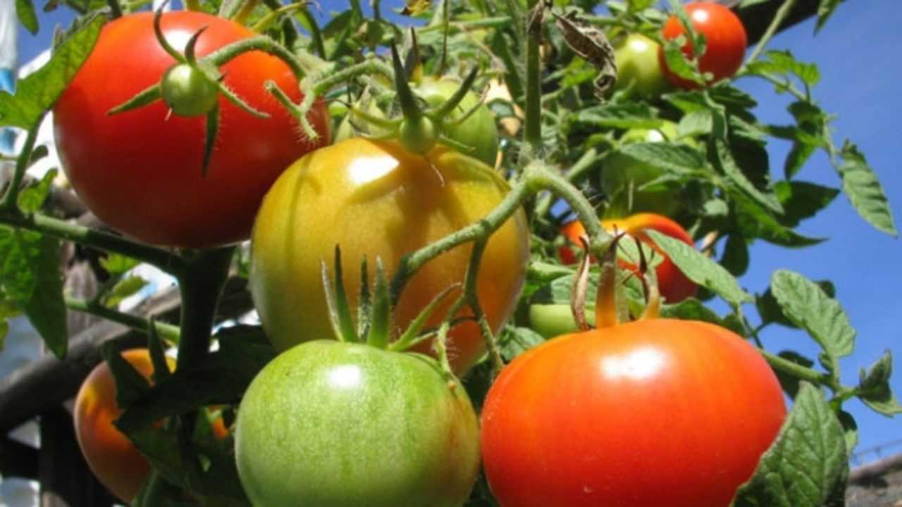 Sostegni Per Pomodori In Vaso come coltivare in vaso i pomodori - idee green