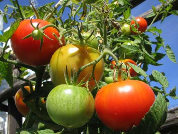 Come coltivare in vaso i pomodori idee green for Piante pomodori in vaso