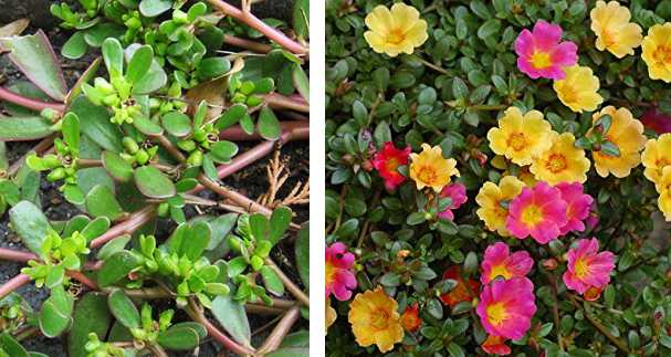 Superb Portulaca Coltivazione