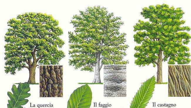 Imparare a riconoscere gli alberi idee green for Foto di alberi da colorare