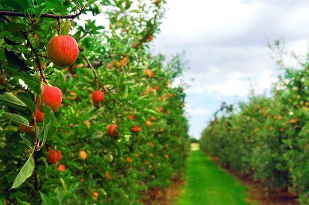 Albero da frutto le istruzioni per l 39 impianto idee green for Quando piantare alberi da frutto