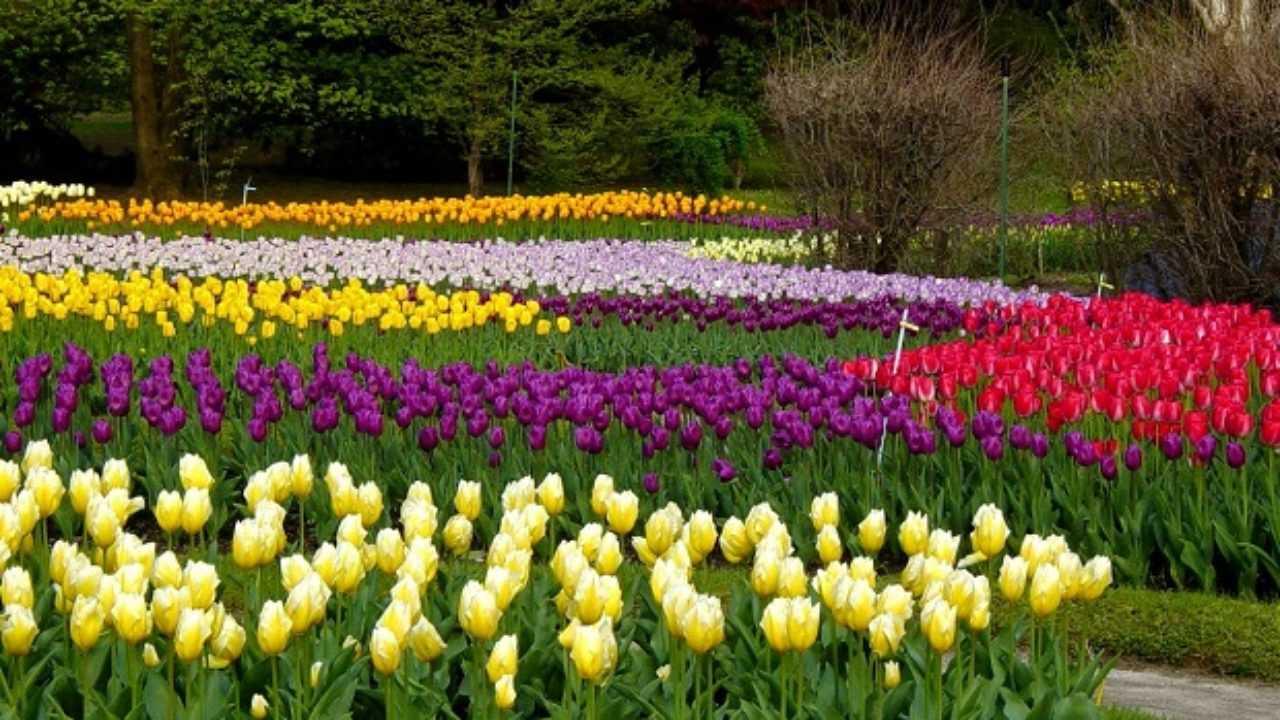 Come Si Piantano I Tulipani come coltivare i tulipani - idee green
