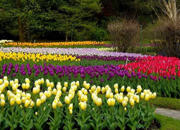 come coltivare i tulipani idee green