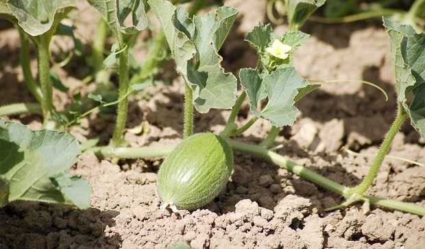 come coltivare il melone idee green