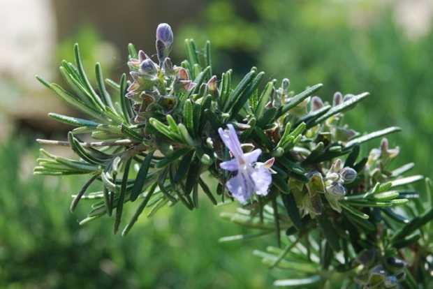 Coltivare il rosmarino: guida di coltivazione in orto o vaso