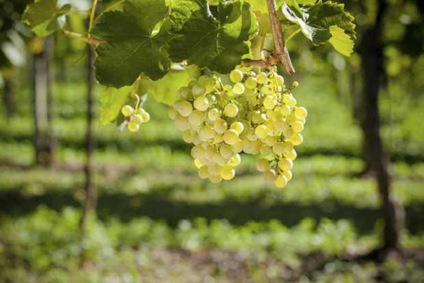 Vini biologici, dalla coltivazione alla lavorazione dell'uva