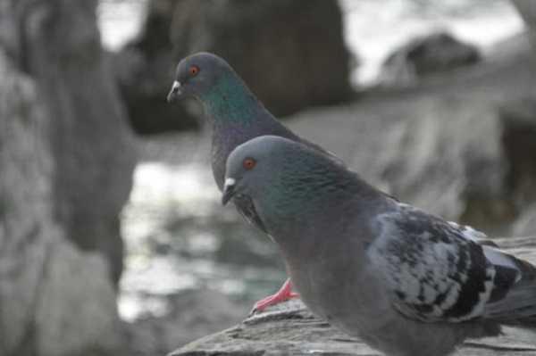 allontanare i piccioni