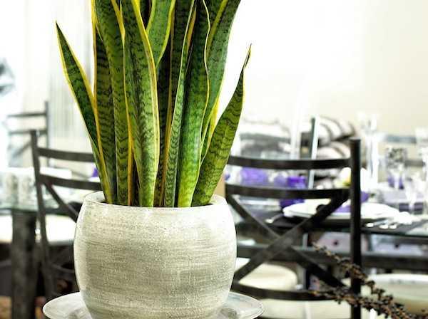 Piante ornamentali per l 39 arredo degli interni idee green - Piante verdi interno ...