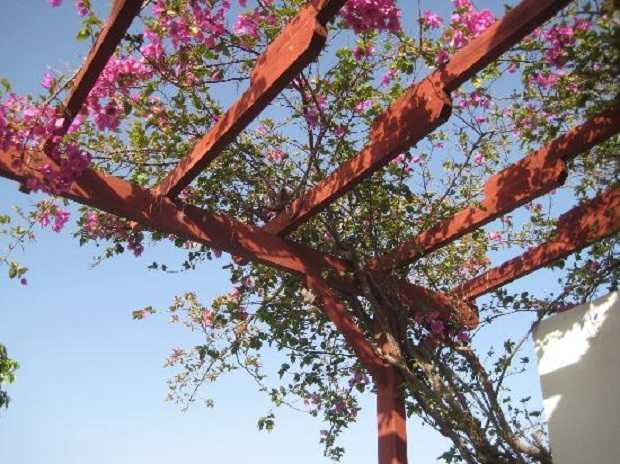 Rampicanti da balcone idee green for Piante da frutto rampicanti