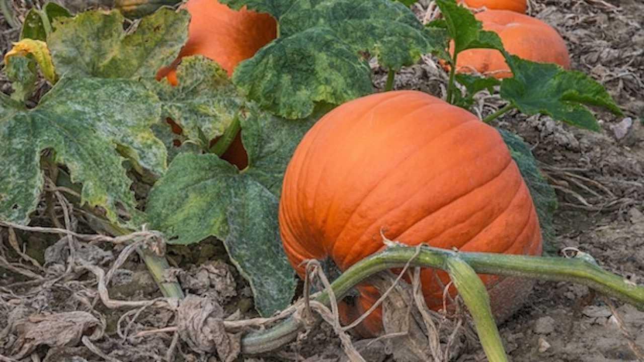 Zucca Di Halloween Quando Seminare.Come Coltivare La Zucca Idee Green