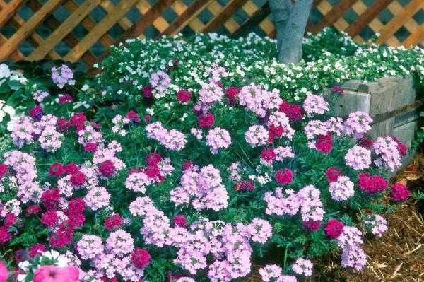 Verbena odorosa detta anche erba cedrina