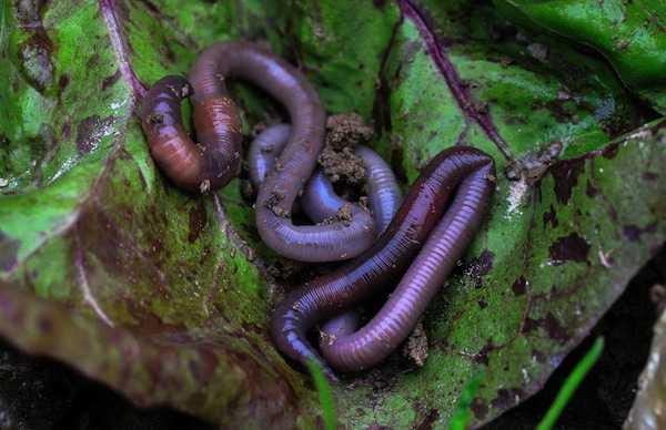 Parassiti di una larva in grasso