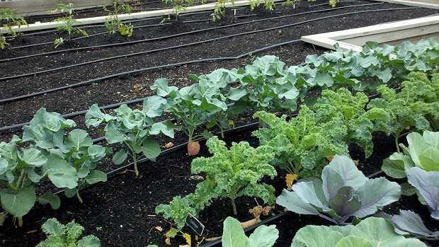 coltivare broccoli